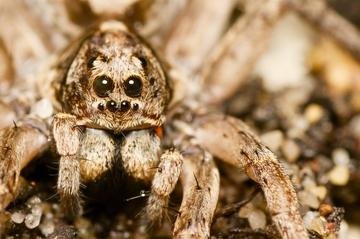 Burrowing Wolf Spider photo