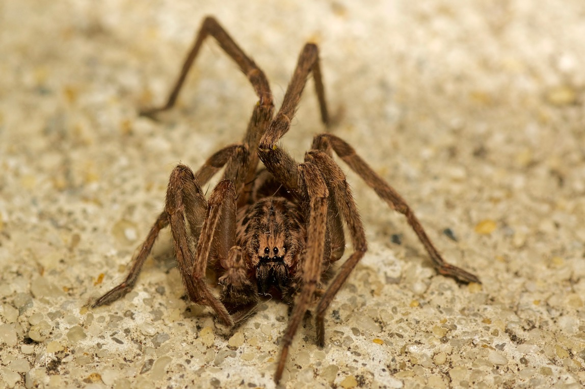 Prowling Spider photo