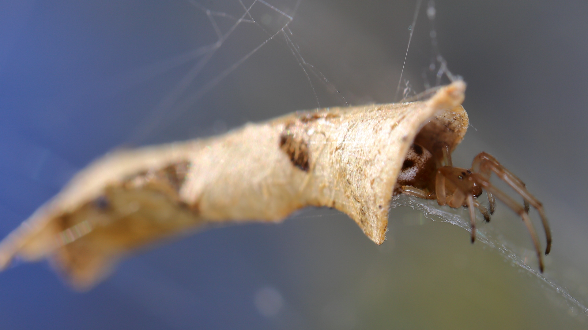 Leaf Curling Spider photo