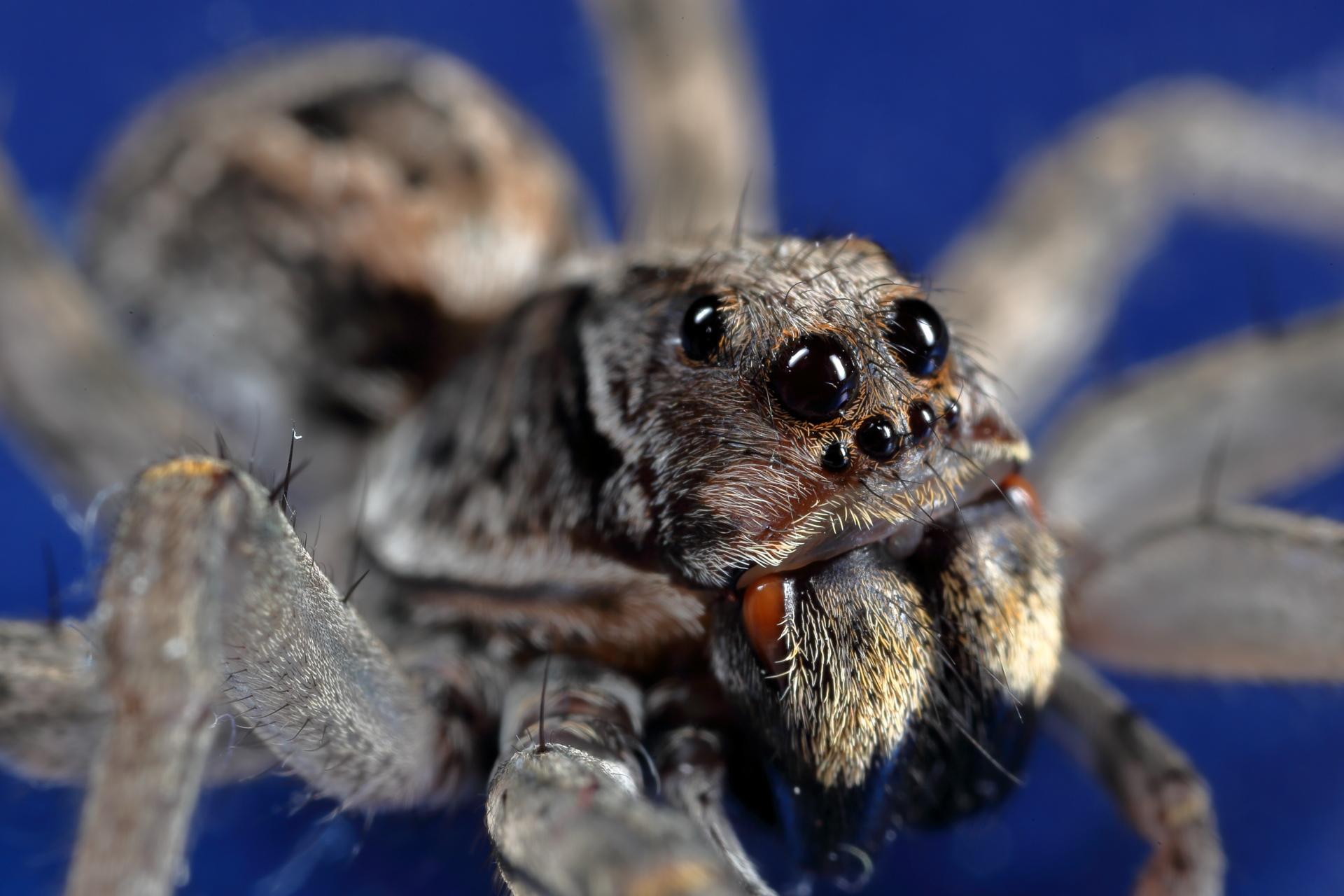 Wolf Spider photo