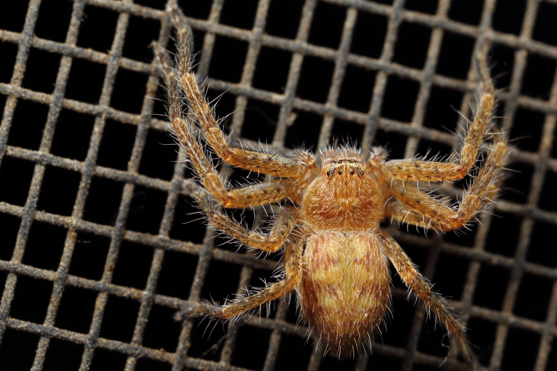 Huntsman Spider photo