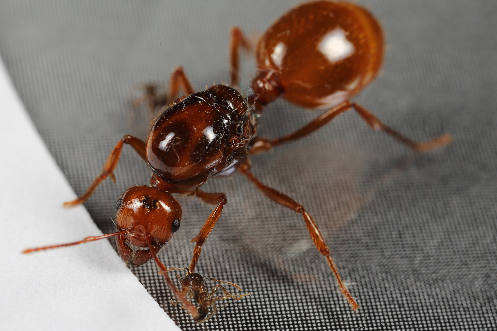 Carpenter Ant Queen photo